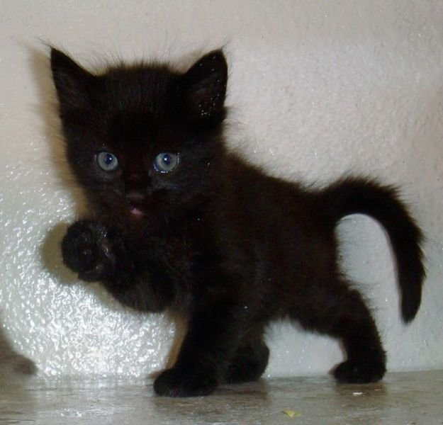 картинки черный котенок