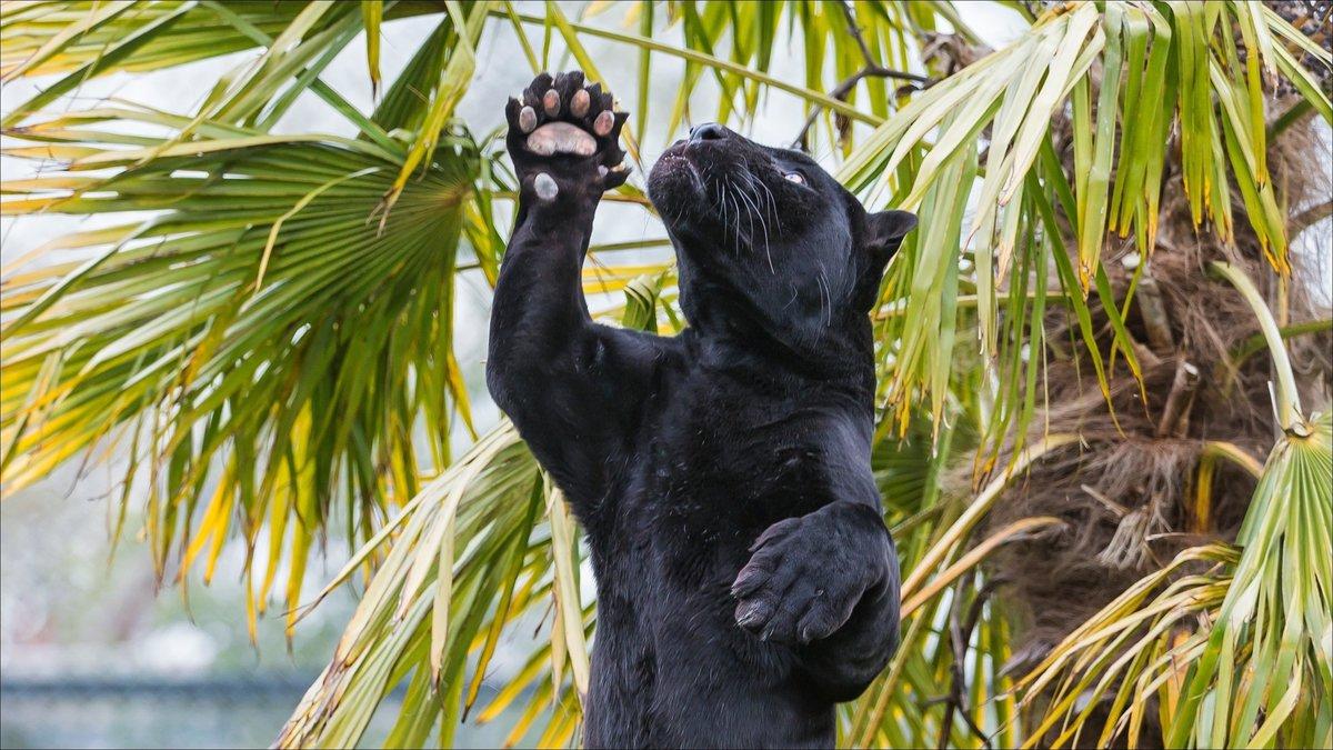 Пантера стоит на Ð·Ð°Ð´Ð½Ð¸Ñ Ð»Ð°Ð¿Ð°Ñ Ð¿Ð¾Ð´ пальмой