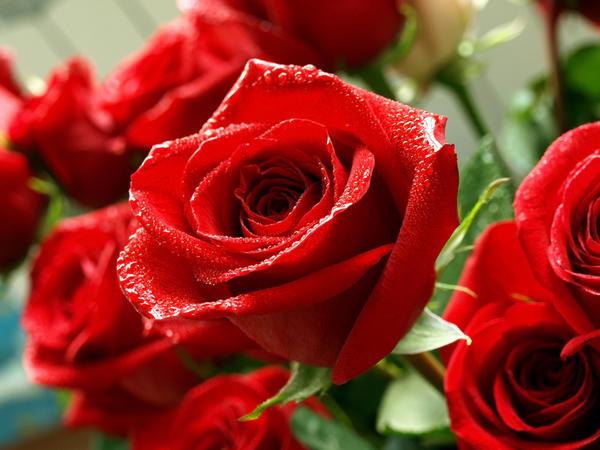 Розы — всеми любимые цветы. Многие их выращивают в цветниках своих дачных участков. А многие лишь только подумывают посадить эти замечательные цветы.