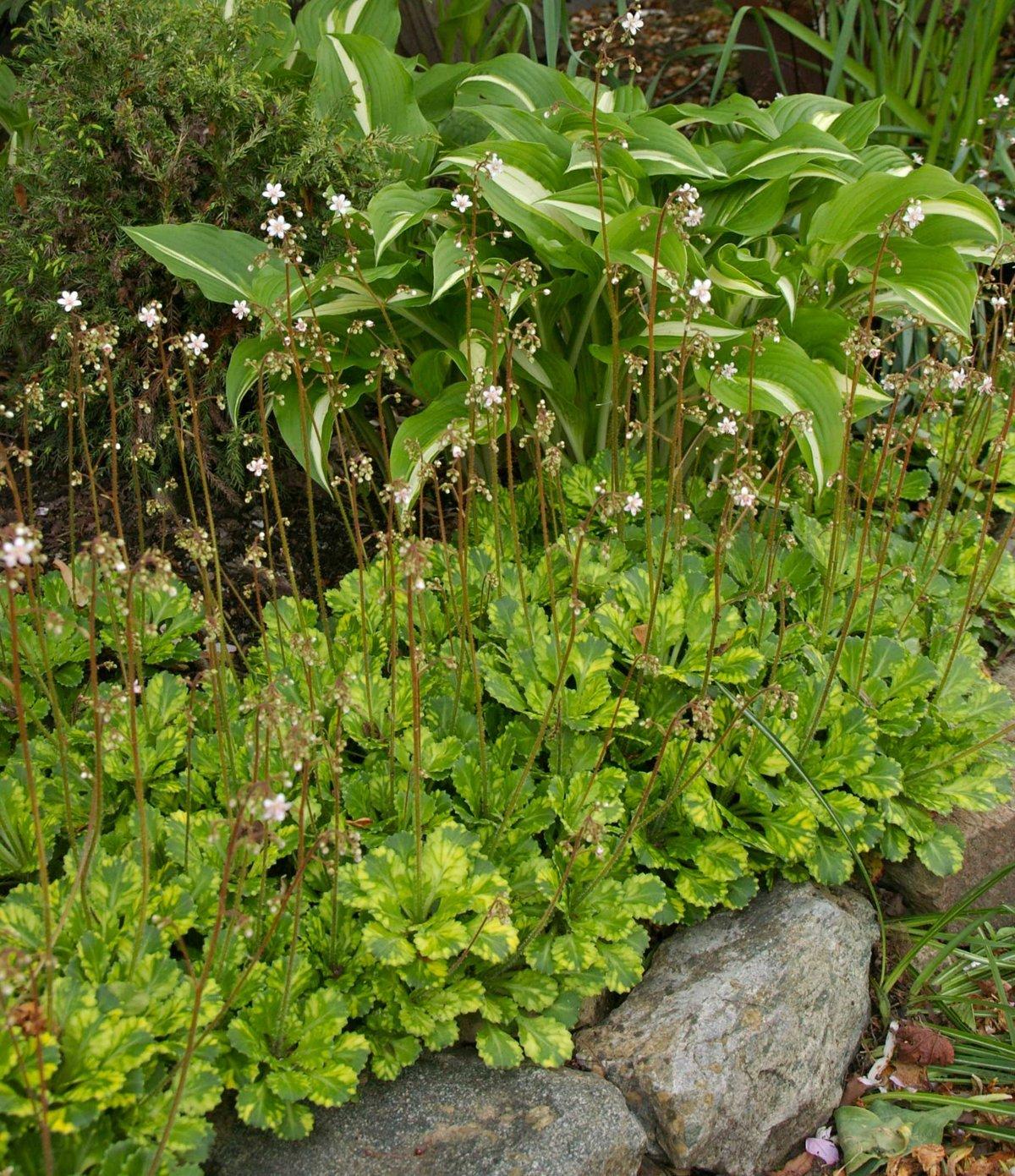 садовые тенелюбивые цветы фото и названия можете скачать слушать