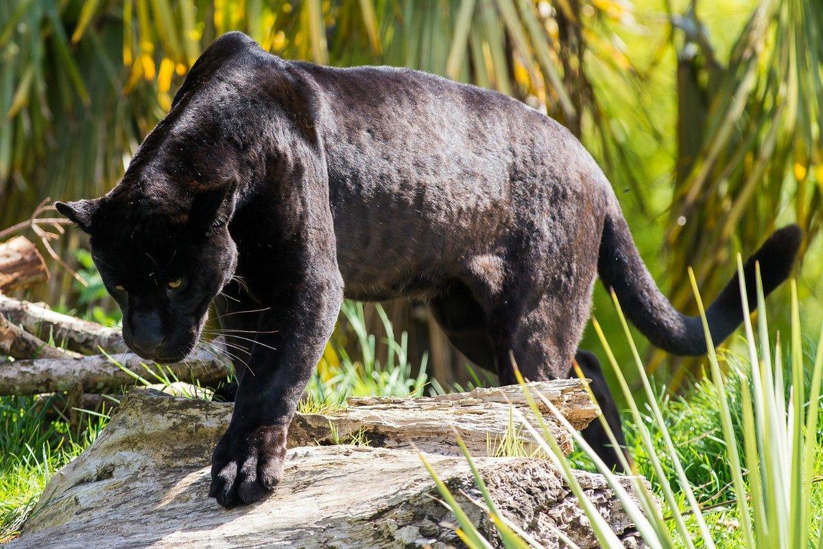 картинки пантер ягуаров пум могут
