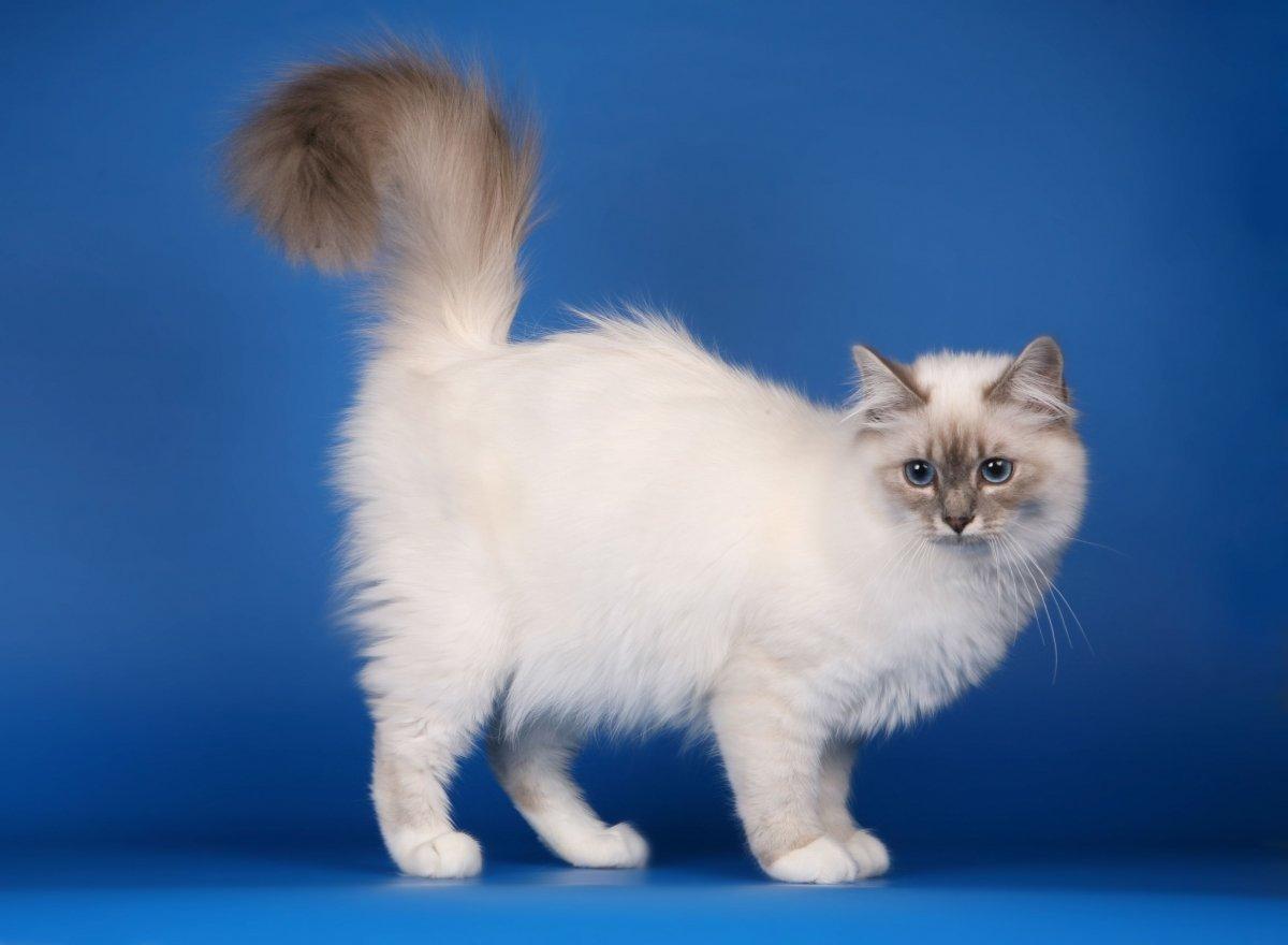 коты сибирская бирма
