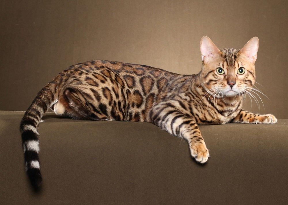 Бенгальская кошка имеет Ñарактерный леопардовый окрас и достаточно большие размеры, поэтому напоминает дикую кошку.