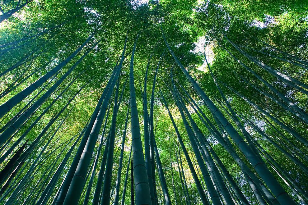 Картинки по запросу Бамбуковый лес Сагано в Киото