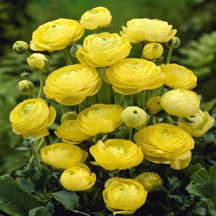 Хранение ранункулюсов зимой будет лучше, если положить клубни в опилки, сухой торф или мох