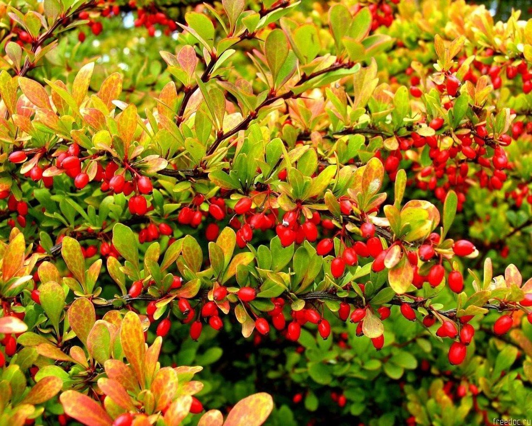 Картинки барбариса растения