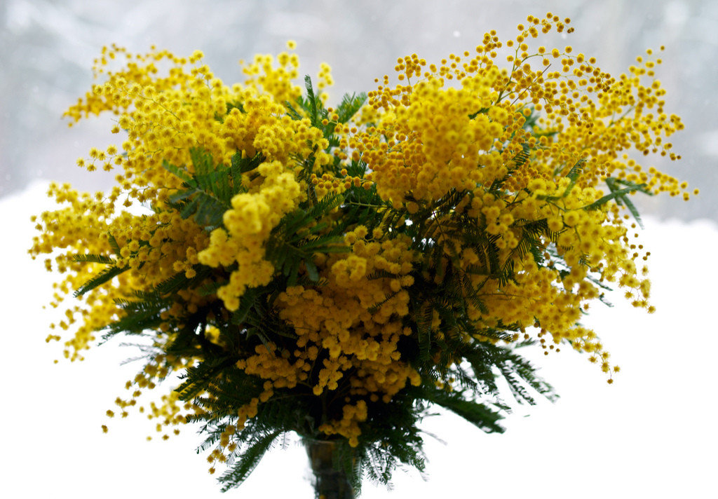 Цветы мимозы купить