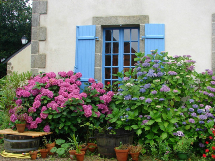 Цветущие гортензии создают праздничную атмосферу. Даже единственный куст гортензии будет ярким и эффектным украшением сада в летние месяцы и осенью.