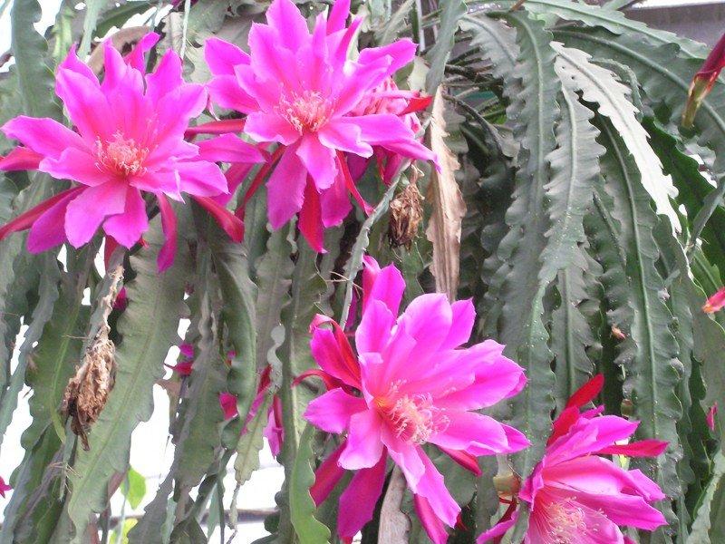 лесные кактусы фото и названия каркасных домов, возведение