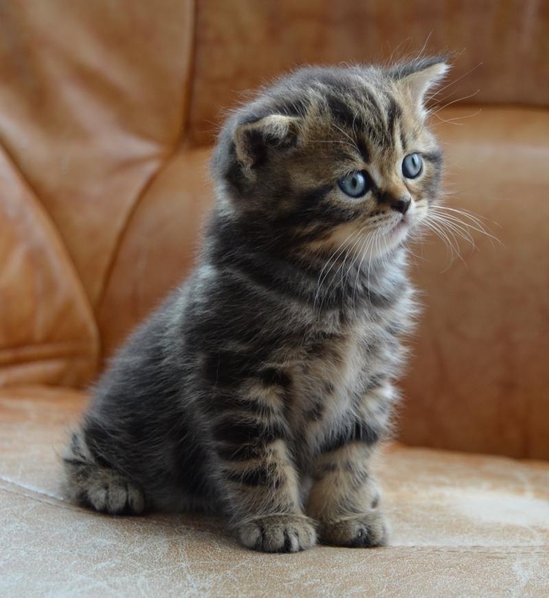 Шотландские котята. Внимательно слушаю.