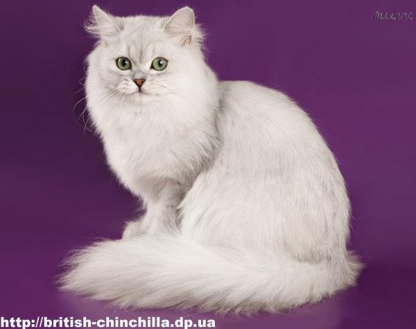 белая британская кошка фото