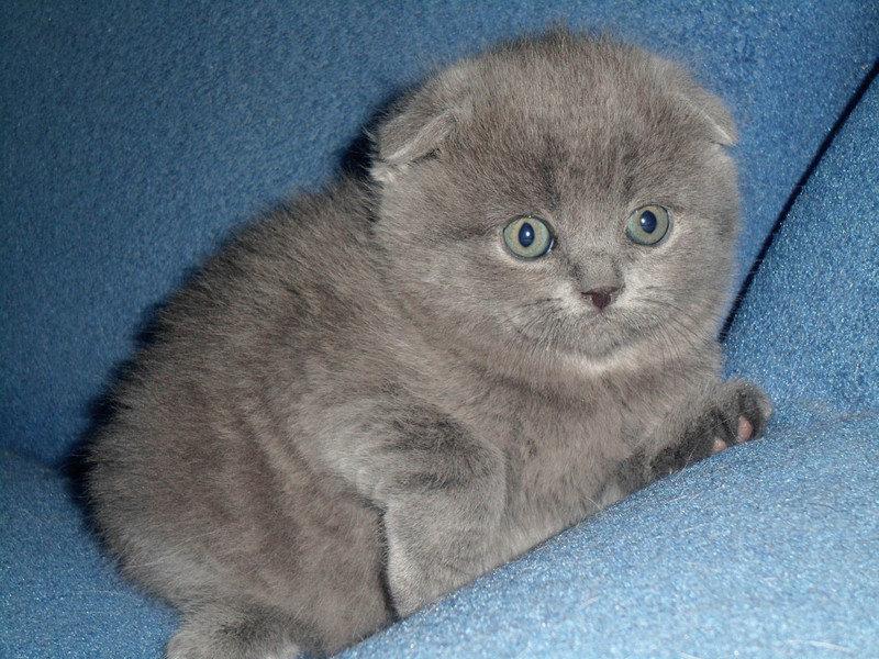 картинка британца вислоухого котенка родов