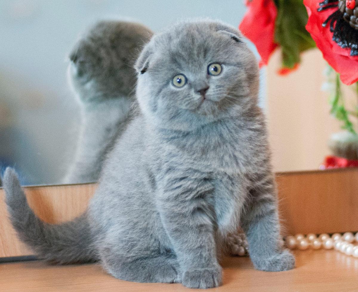 фото котят шотландских веслоухих Международная Менделеевская Митино