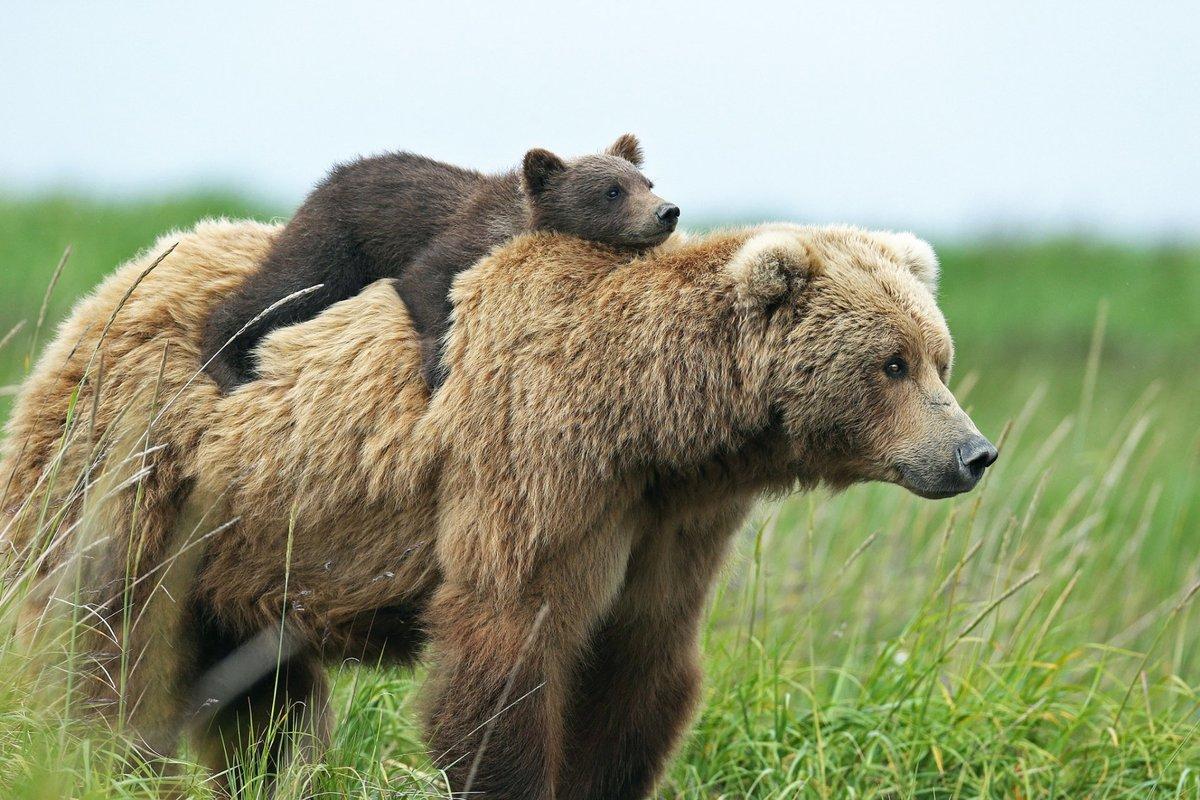 Главная Термобелье фото медведица с медвежонком 2016 сериях термобелья