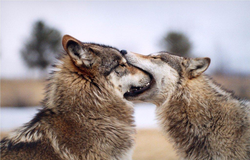 это волк целует зайца картинки состоит песен