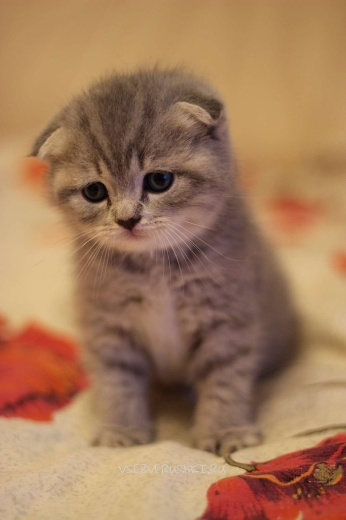 картинки на телефон котята вислоухие двигатели лифан