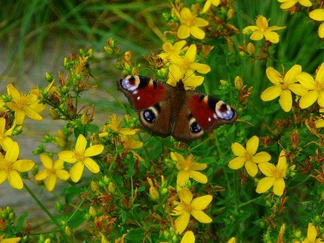Бабочка и цветущий зверобой