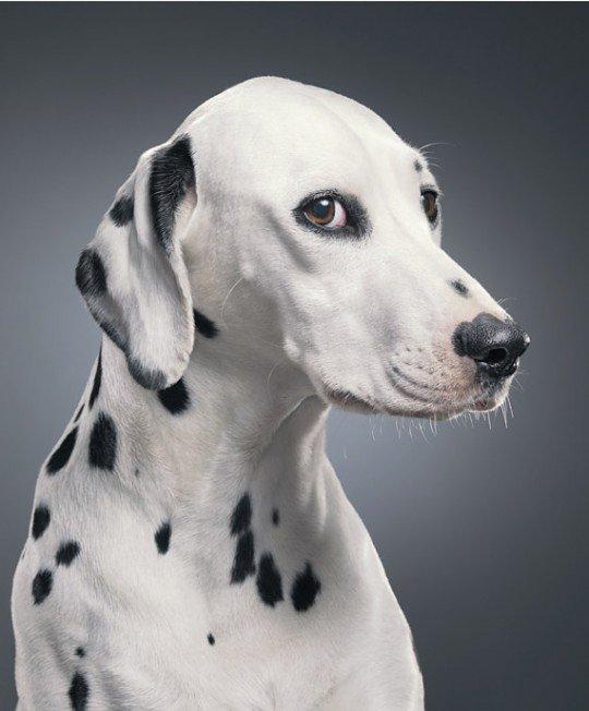 Фотографии собак - фотограф Тим Флэк