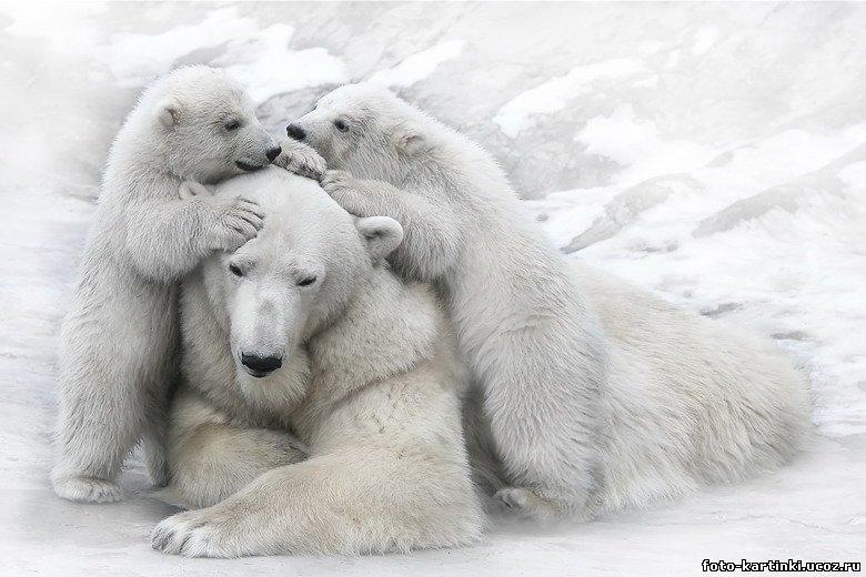 Неугомонные медвежата. - Белые медведи - Фотоальбом - Фото-картинки  плюс