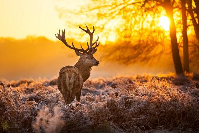 Олень на рассвете ... | Фото | Online.ua