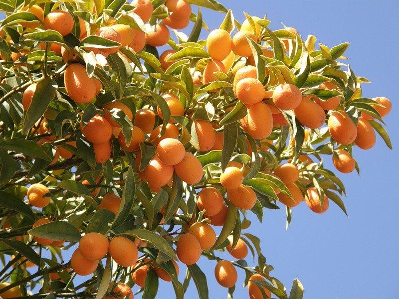 Редкие экзотические фрукты: prosto_mariya27