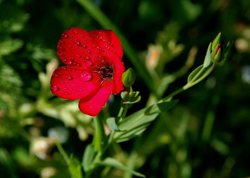 Роса на полевых цветах