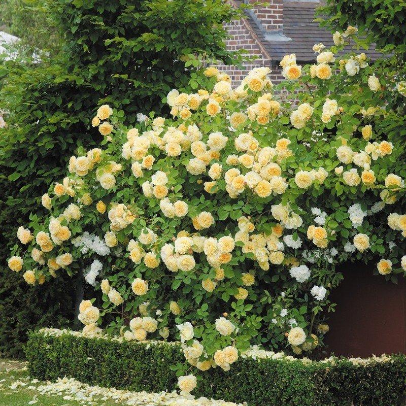 Почему бутоны роз не распускаются и засыхают