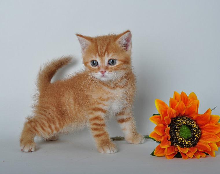 котята шотландские рыжие фото