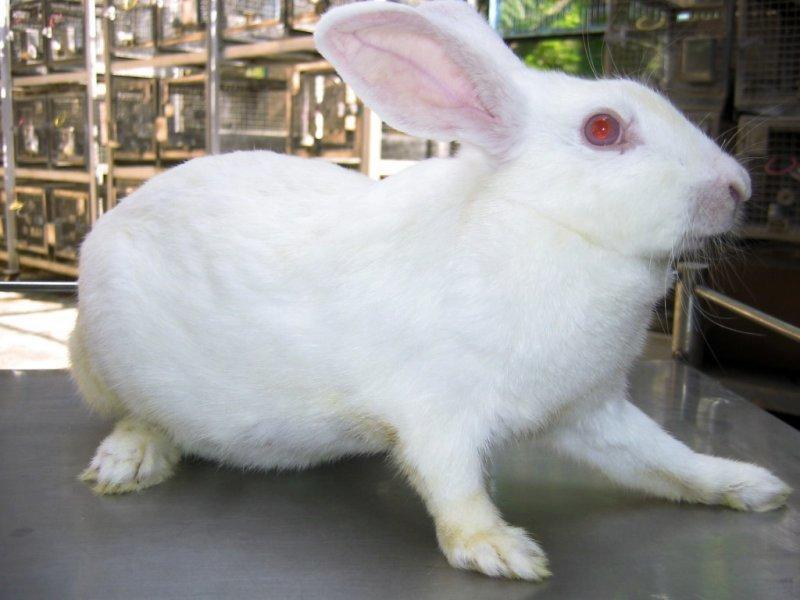 восстановить белый кролик с красными глазами фото животных почти полностью