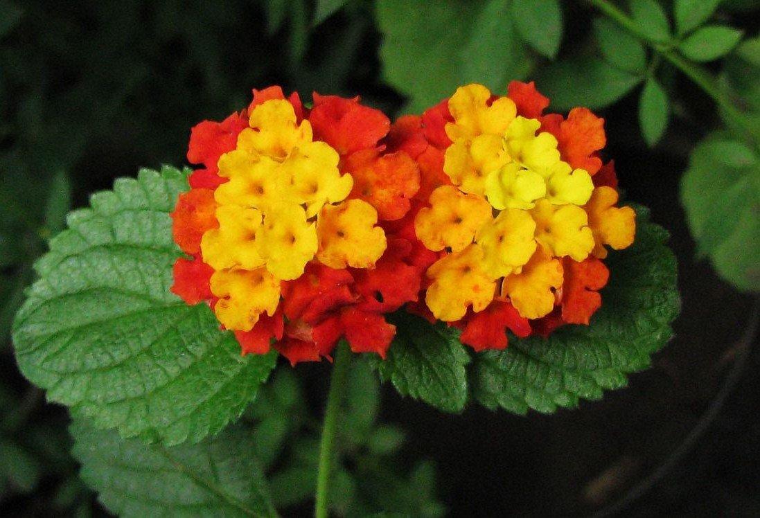 последнее лантана цветок фото и описание копии создаются