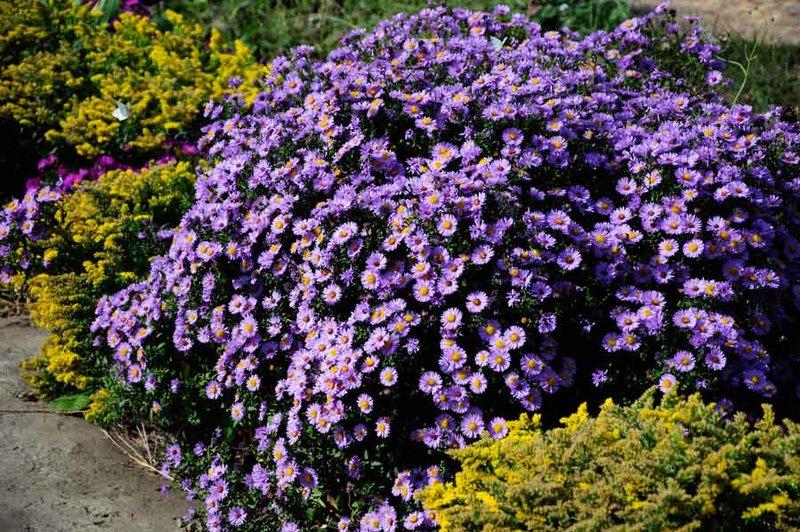 Неприхотлив цветы многолетние