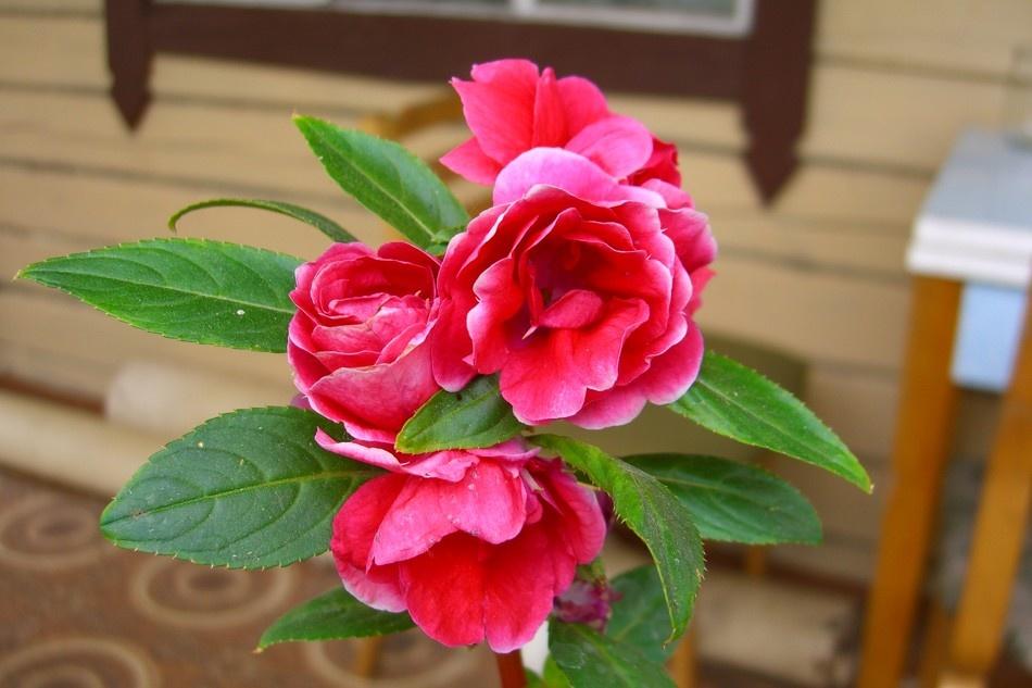Фото цветов бальзамина