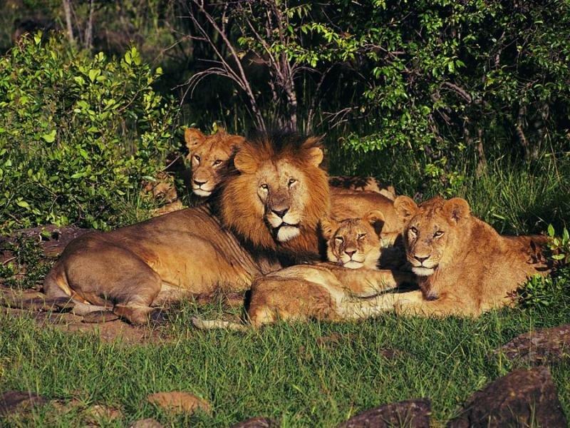 этим картинки львицы прайд любимые