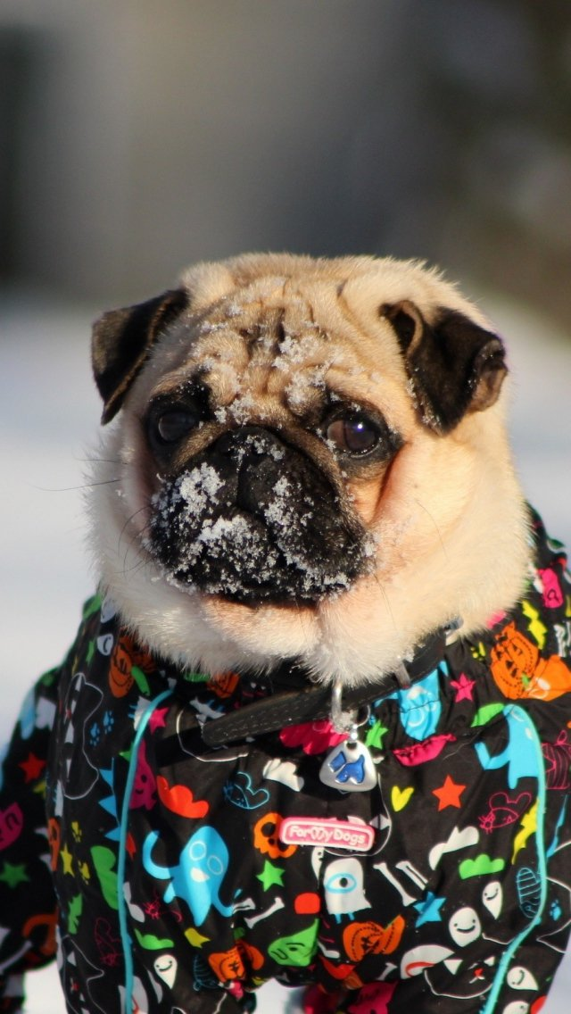 640x1136 Обои мопс, собака, снег, куртка, зима