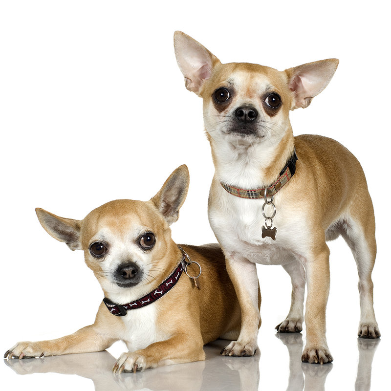 Чихуахуа Чихуахуа – Домашние собаки