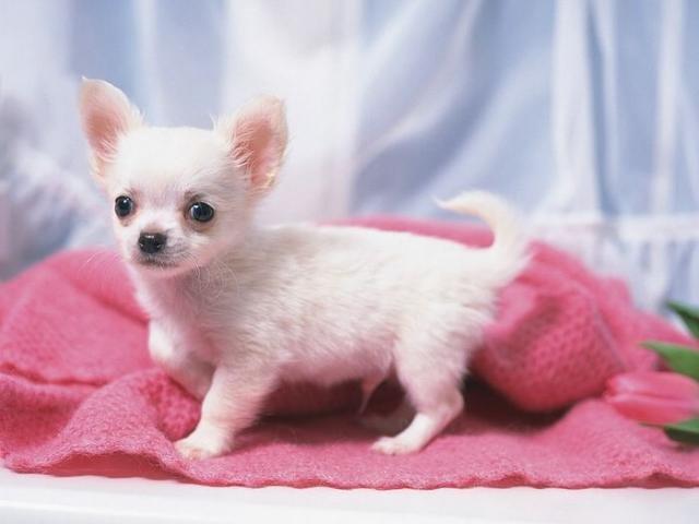 Чихуахуа - карманная собачка