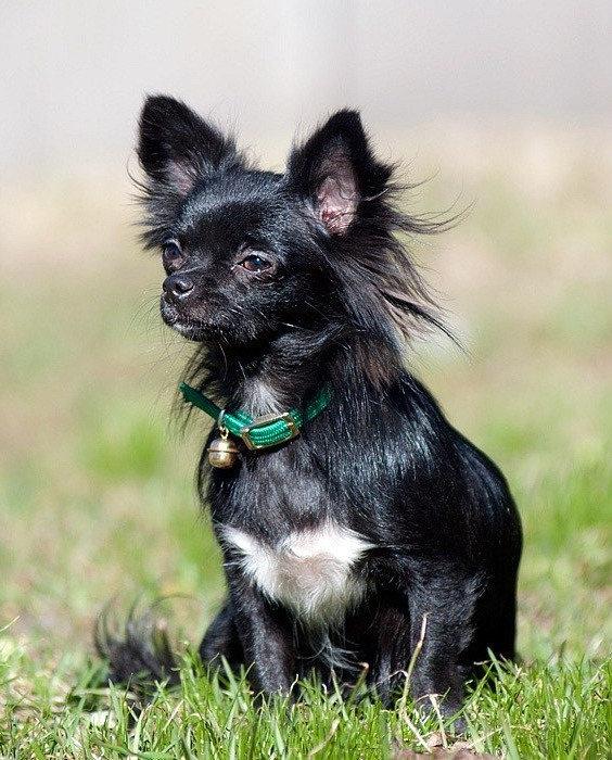 Чихуахуа - описание, стандарт, фото, уход, цена щенков | «Дай Лапу»