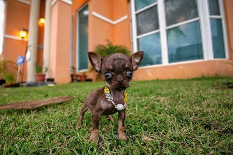 Крошечный чихуахуа Милли возможно, самая маленькая собака в мире