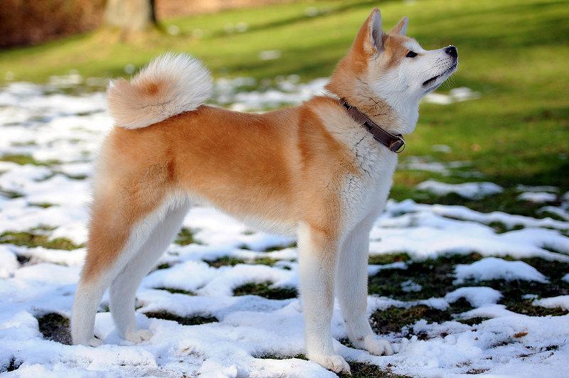 Порода собак японская акита-ину. Фото