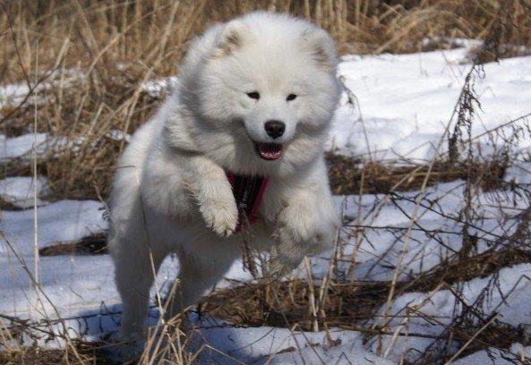 порода собак самоед фото
