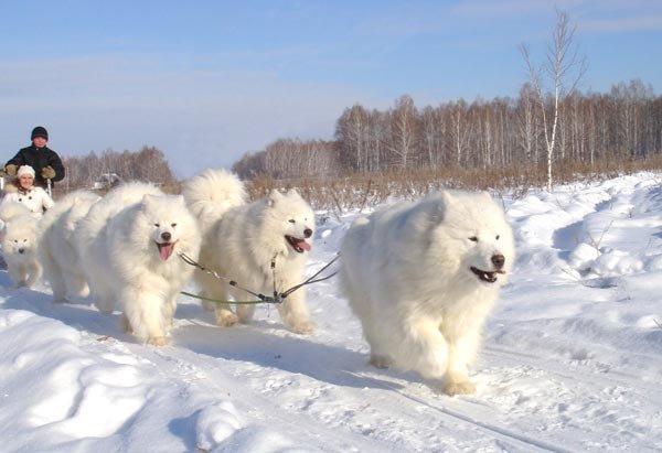 пухнастик:  Самоед, самоедская лайка, саамская лайка или самоедская собака.  Активный,  отличный сторож и послушный, добрый компаньон, любитель спортивного бега с стаей в сцепке. Белый медвежонок  с «улыбающимся лицом», умными темными глазами и крепким, мускулистым телом