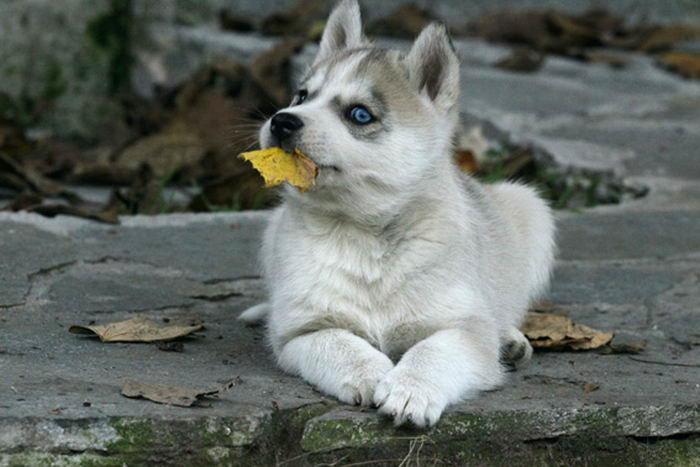 Siberian Husky - Сибирский хаски