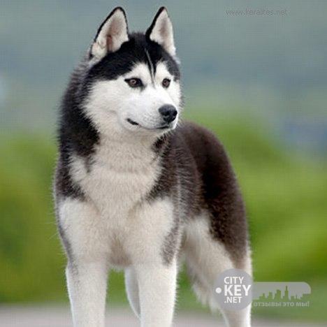 Сибирский Хаски - Преданная собака, отзывы CityKey.net