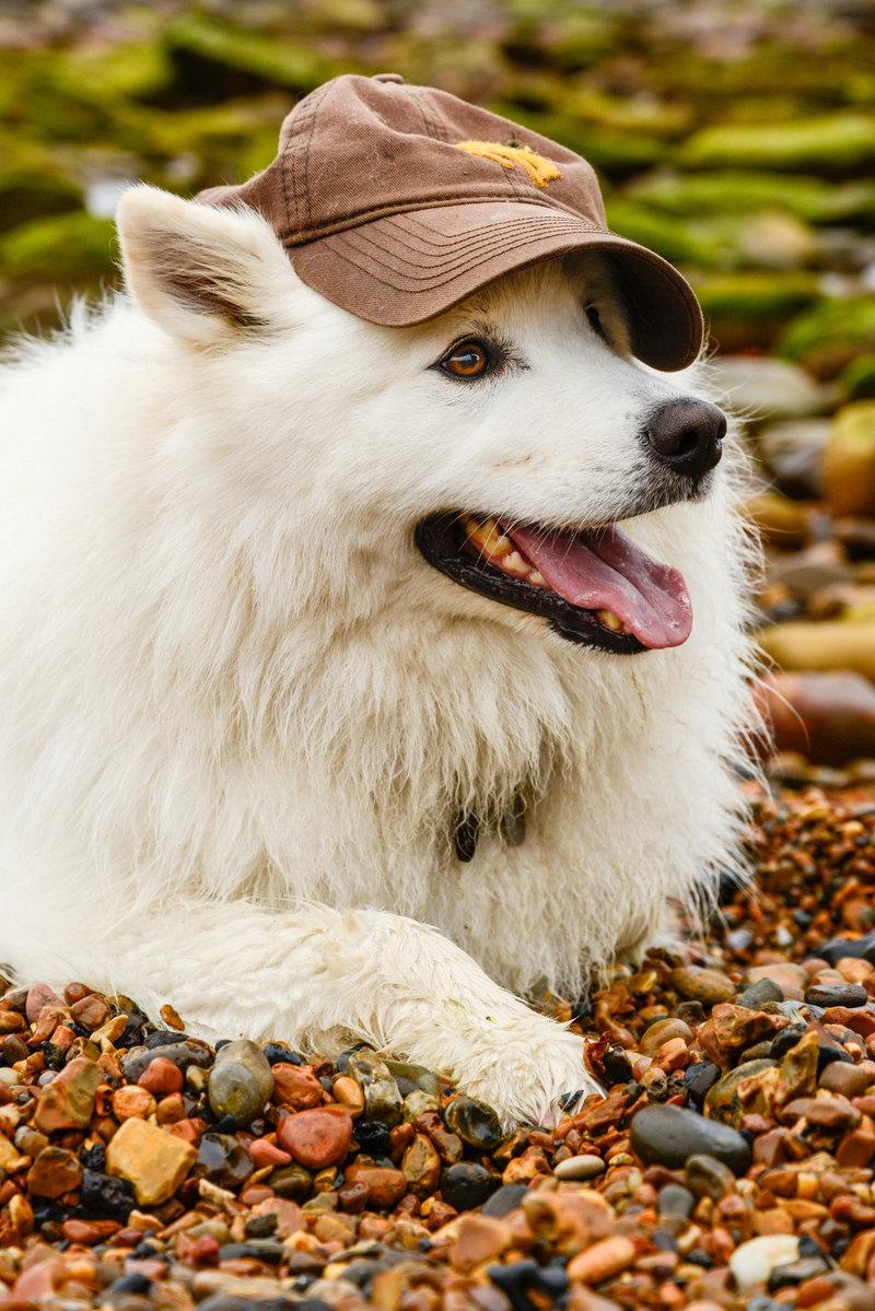 Всем любителям собак посвящается - Самоед