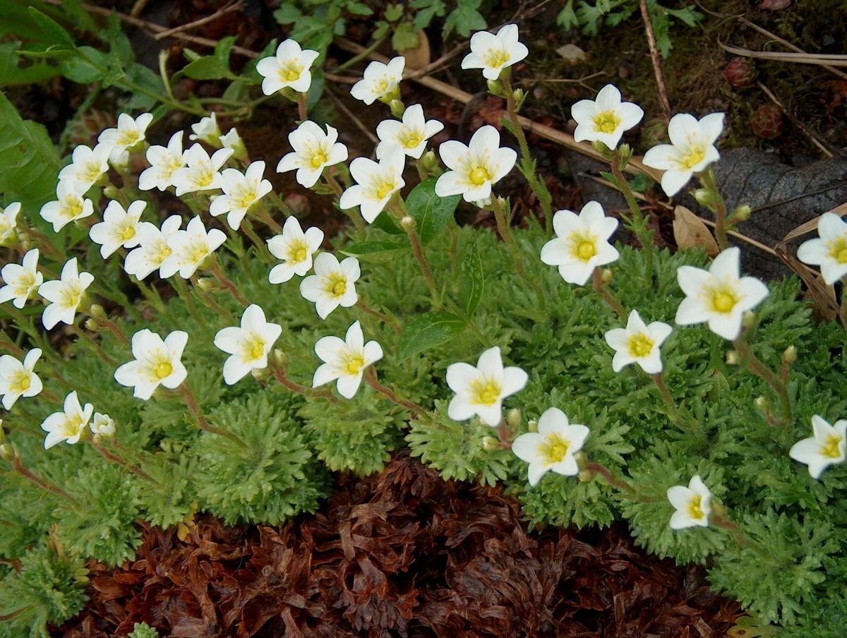 садовые цветы почвопокровные фото с названиями слышали, что настоящее