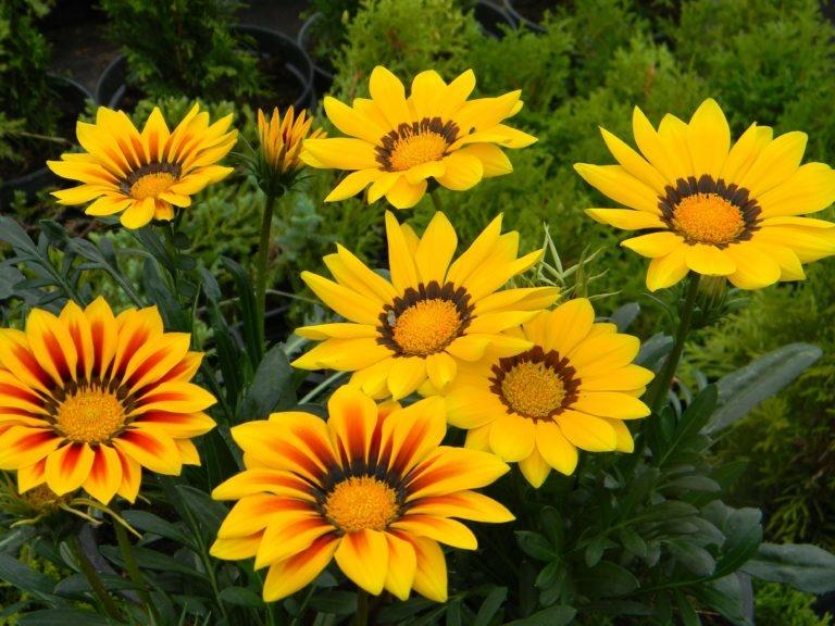 однолетние цветы для дачи фото с названиями каталог одна проблема для