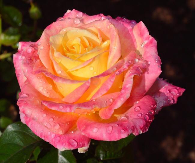 Нежно-розовая с желтой срединкой.