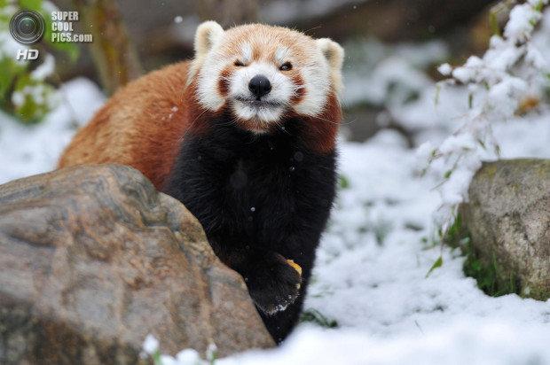 Стоит отметить, что этот представитель семейства Ð¿Ð°Ð½Ð´Ð¾Ð²Ñ‹Ñ Ð±Ð¾Ð»ÑŒÑˆÐµ напоминает енота, нежели своего родственника — гигантскую панду. Учёные делят вид на два подвида — западную малую и малую панду Стайана.
