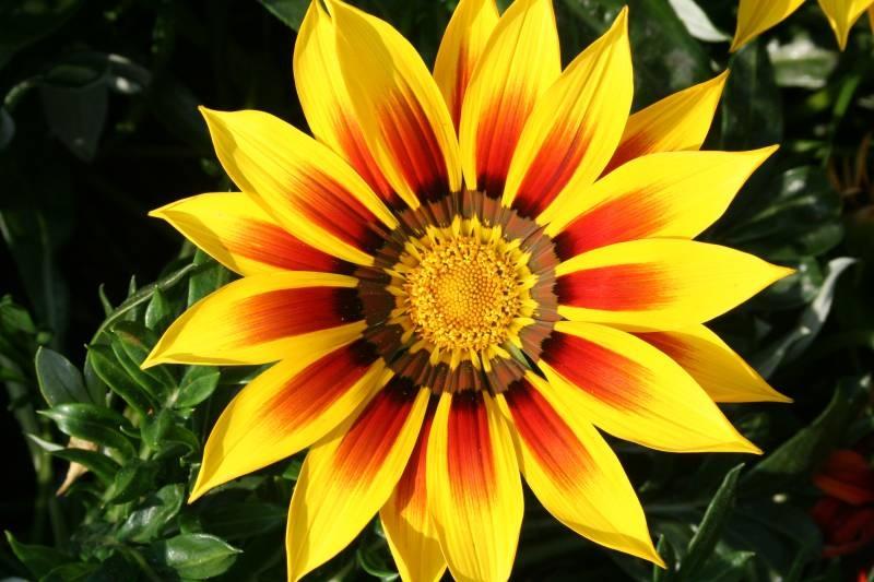 Африканская ромашка цветок фото