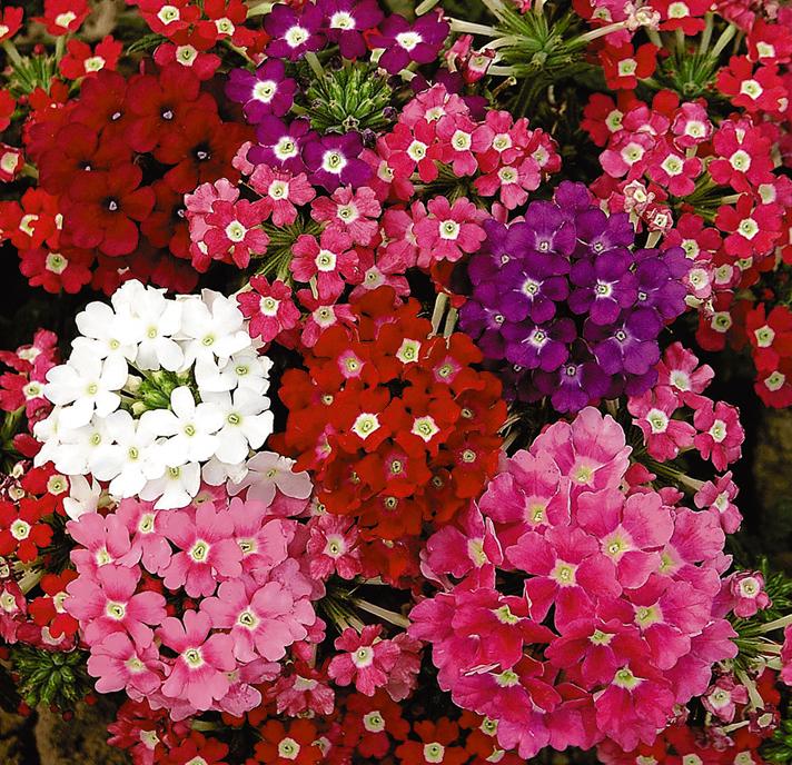 Букет, цветы однолетники купить